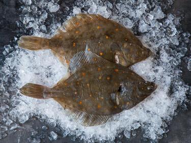 Delikatesse Aus Dem Meer Wie Du Scholle Filetierst Und Zubereitest