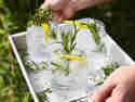 Gin Tonic mit Rosmarin